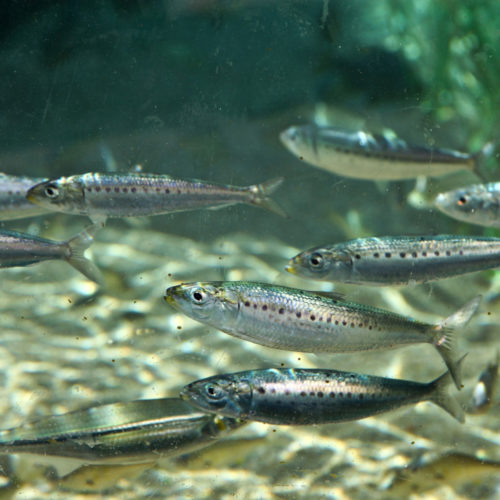 Silver Freshwater Minnows